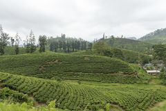 Tea plantation in hill country Sri Lanka royalty free stock photo