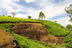 Tea plantation hills Stock Images