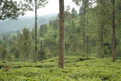 Tea plantation, West Java Indonesia stock photo