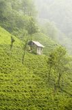 Tea plantation on hillside Stock Photos