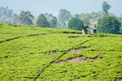 Tea Plantation and Hut Royalty Free Stock Photos