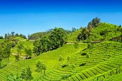 Tea Plantation In Munnar Royalty Free Stock Image