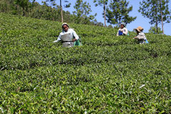 The tea plantation in India Royalty Free Stock Photo