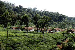 Tea plantation,India Royalty Free Stock Image