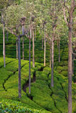 Tea Plantation in India. Tea garden in Tamil Nadu, India Royalty Free Stock Image