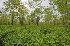 Tea Plantation in India Royalty Free Stock Image