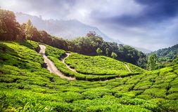 Tea plantation in India Royalty Free Stock Photography