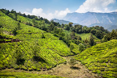 Tea plantation in India Stock Images