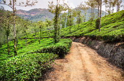 Tea plantation in India Stock Image