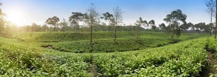 Tea plantation . Indonesia, Java. stock photo