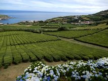 Tea plantation on the isle of Sao Miguel, Azores, Portugal stock photo