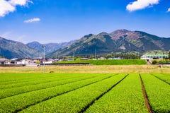 Tea Plantation in Japan Stock Image