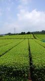 Tea plantation in Japan Royalty Free Stock Photography