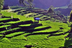 Tea plantation in Java Stock Photo