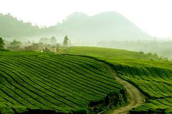 Tea plantation in Java, Indonesia Royalty Free Stock Photos