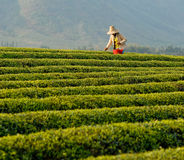 Tea plantation(3) Stock Photos