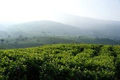 Tea Plantation. Kemuning Tea Plantation, Central Java, Indonesia Stock Images