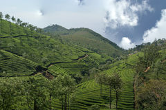 Tea plantation of Kerala, India Royalty Free Stock Image