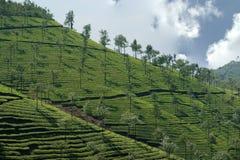 Tea plantation of Kerala, South India Stock Photo