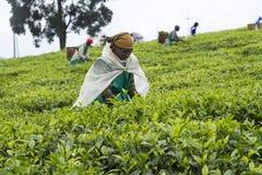 Tea plantation. KINIHIRA, RWANDA - unidentified workers at a tea plantation. Tea is export item of Rwanda Stock Photo