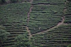 Tea plantation in Lai Chau, Vietnam. People working at tea plantation in Lai Chau, Vietnam Stock Photo