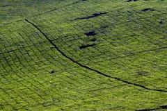 Tea Plantation Landscape Stock Image
