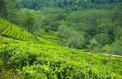 Tea plantation landscape. Near Nuwara Eliya, Sri-lanka Royalty Free Stock Images