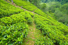 Tea plantation landscape Stock Photos