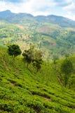 Tea plantation landscape Royalty Free Stock Photo