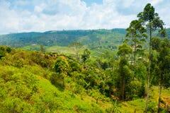 Tea plantation landscape Royalty Free Stock Images