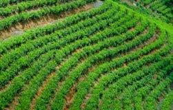 Tea plantation landscape. In Sri Lanka Royalty Free Stock Photo