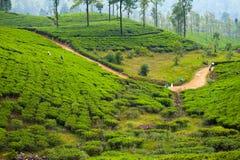 Tea plantation landscape. In Sri Lanka Stock Photo