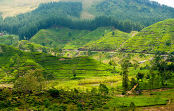 Tea plantation landscape. In Sri Lanka Stock Image