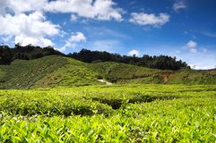 Tea plantation landscape. In Cameron Highland, Malaysia Stock Photography