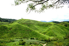 Tea plantation landscape Royalty Free Stock Photo