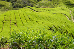 Tea Plantation Landscape Stock Photos