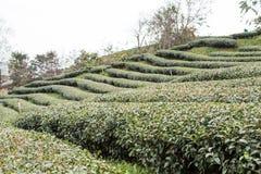 Tea plantation landscape. Royalty Free Stock Image