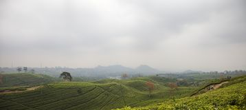 Tea plantation landscape in Indonesia. Black tea plantation panoramic landscape in Lembang north of Bandung royalty free stock image