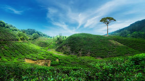 Tea plantation landscape. Malaysia Stock Photography