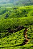 Tea plantation landscape. India Stock Photography