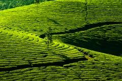 Tea plantation landscape. India Stock Images