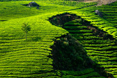 Tea plantation landscape. India Stock Photo