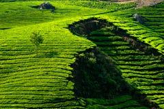 Tea plantation landscape. India Stock Photo