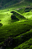 Tea plantation landscape. Munnar, Kerala, India Royalty Free Stock Photos