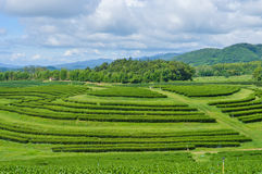 Tea Plantation. Stock Image
