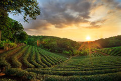 Tea plantation landscape sunset Royalty Free Stock Photography