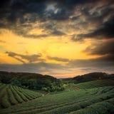 Tea plantation landscape sunset Royalty Free Stock Image