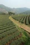 Tea Plantation. Landscape of thailand Stock Photos