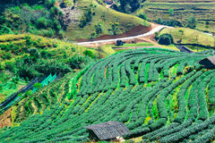 Tea plantation landscape Royalty Free Stock Photography