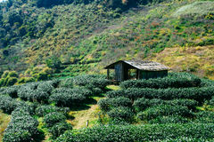 Tea plantation landscape Stock Photography